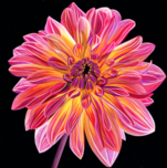Scott Jacobs Scott Jacobs Chrysanthemum