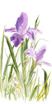 Phillip Anthony Phillip Anthony St. Augustine Iris (SN) (Gallery Wrapped)