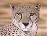 Jacquie Vaux Limited Edition Fine Art Giclee Cheetah Portrait